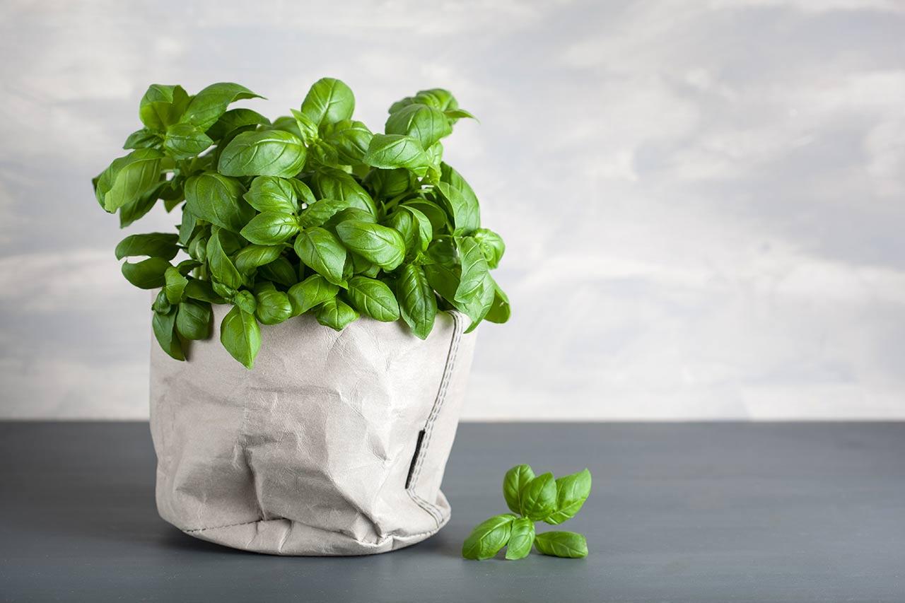 Basilikum im Topf pflanzen, ernten, säen, vermehren