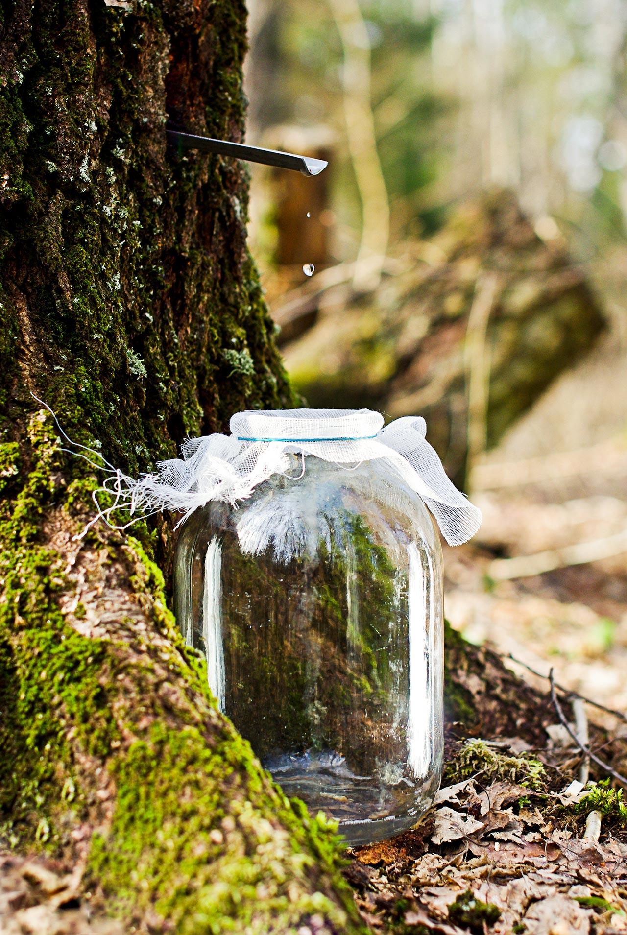 Birkensaft zapfen Birkenwasser